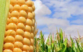 Corn Fibre – Your Unexpected Ecofriendly Carpet